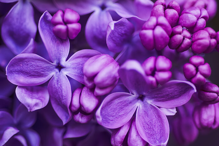 Lilac-Meaning.jpg