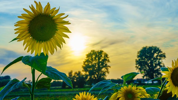 sunflower-4424306__340.jpg